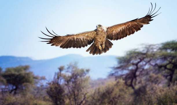 Aquila europea